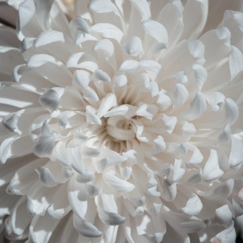 Biali Ñ  hrysanthemums kwitną na czarnym tle fotografia royalty free