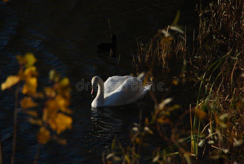 Biali łabędź na zmierzchów promieni parkowym jeziorze zdjęcia stock