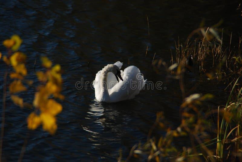 Biali łabędź na zmierzchów promieni parkowym jeziorze zdjęcie stock