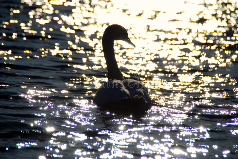 Biali łabędź na zmierzchów promieni parkowym jeziorze obrazy stock