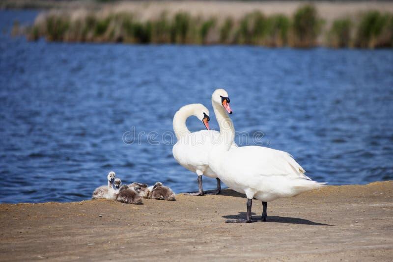 Biali łabędź z gniazdownikami Ptak rodzina obrazy royalty free