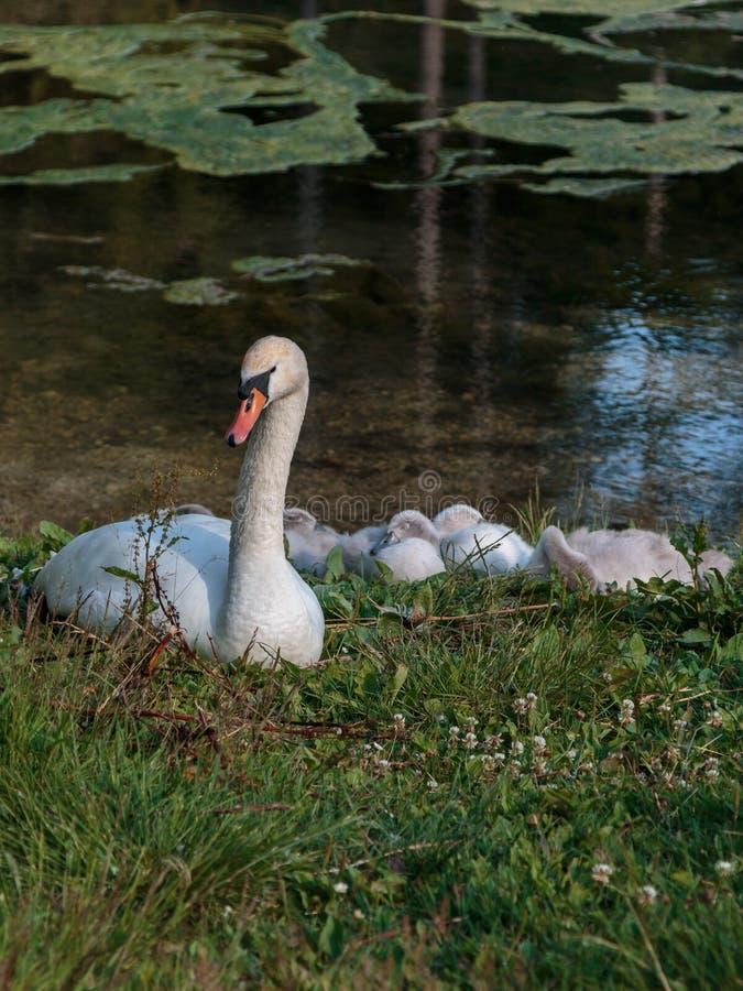 Biali Łabędzi i Szarzy kaczątka w Lake& x27; s krawędź zdjęcia royalty free
