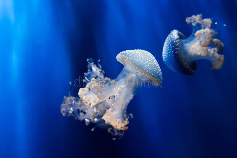 Biali łaciaści jellyfishes podwodni obrazy stock