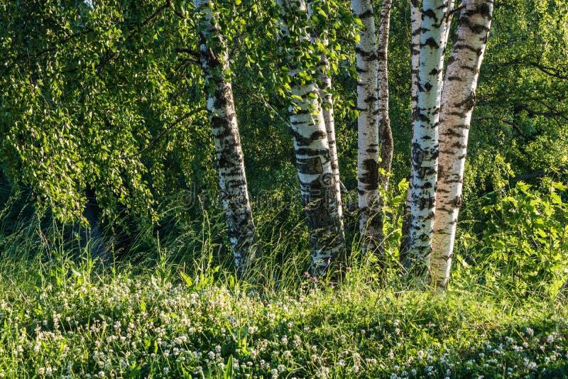 Biali bagażniki brzozy na tle zielony las zdjęcia royalty free