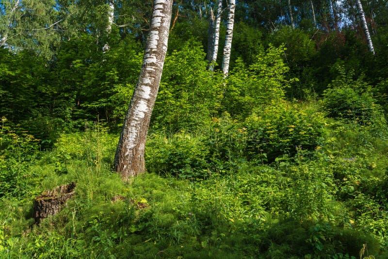 Biali bagażniki brzozy na tle zielony las zdjęcie royalty free