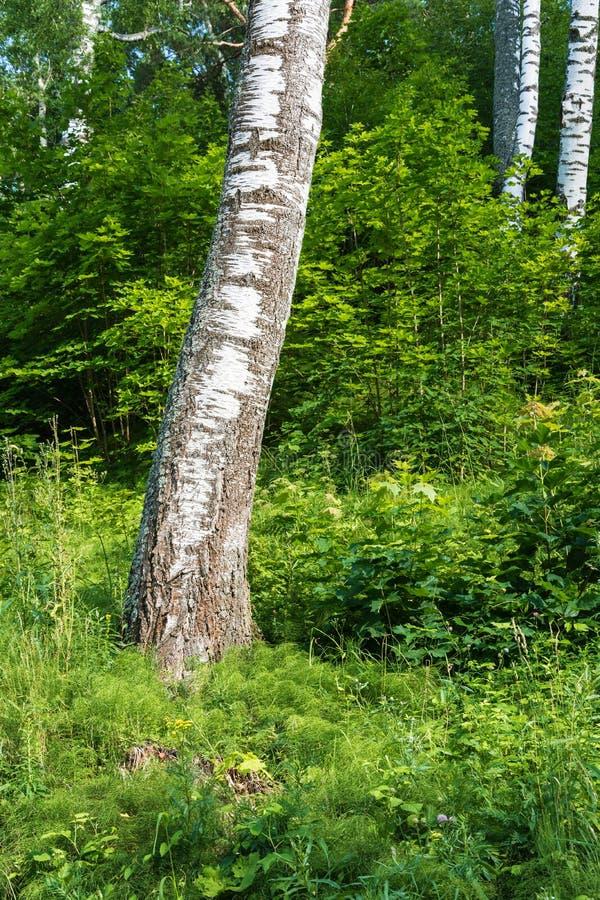 Biali bagażniki brzozy na tle zielony lasowy biel t obrazy royalty free