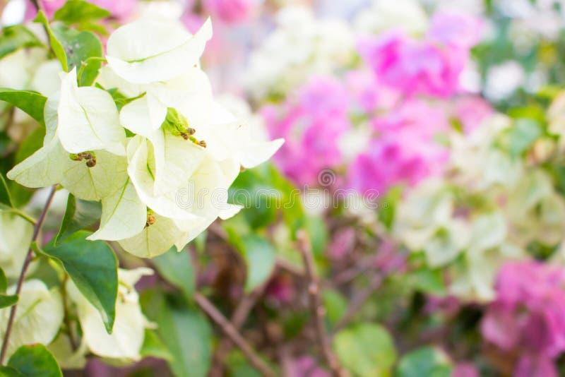 Biali bougainvillea kwiaty lub Papierowi kwiaty fotografia stock