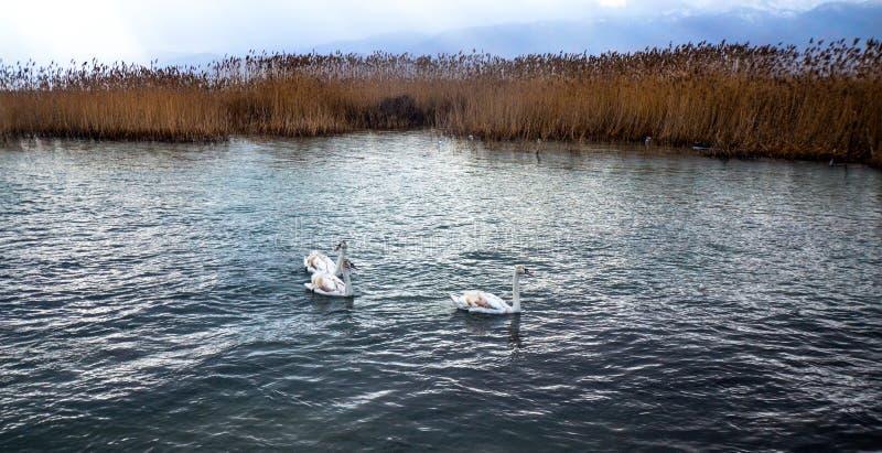 Biali brown łabędź na jeziornym Ohrid, Macedonia zdjęcia stock