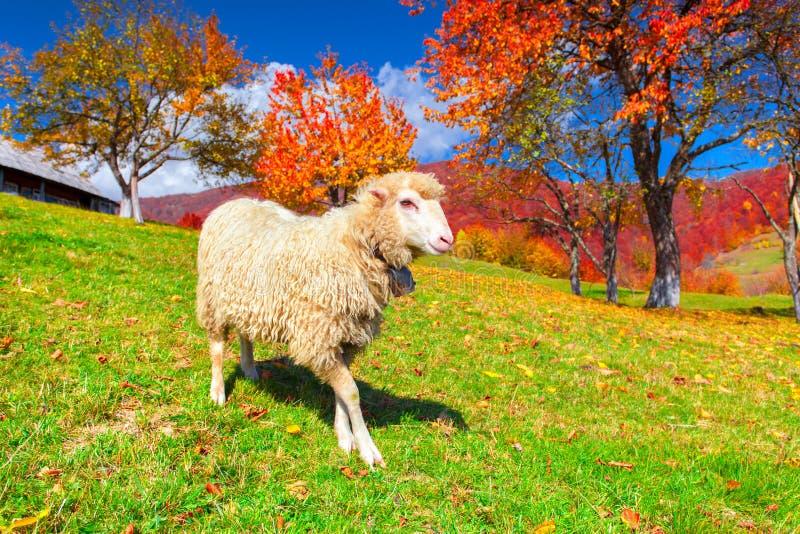 Biali cakle na paśniku w górach w jesieni zdjęcie stock