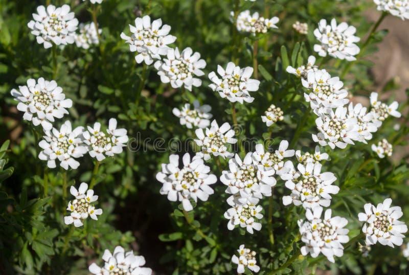 Biali Candytuft kwiatu Iberis sempervirens - zamyka w górę pokazywać stamens z pollen i niektóre nieotwartymi pączkami obraz royalty free