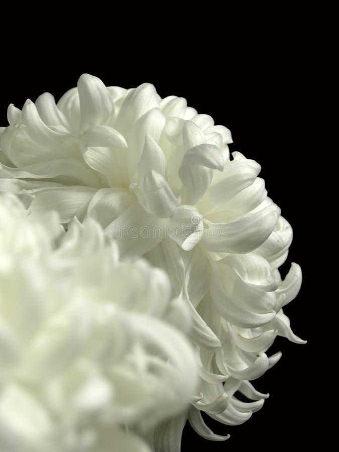 Biali chryzantema kwiaty odizolowywający na czarnym tle fotografia royalty free