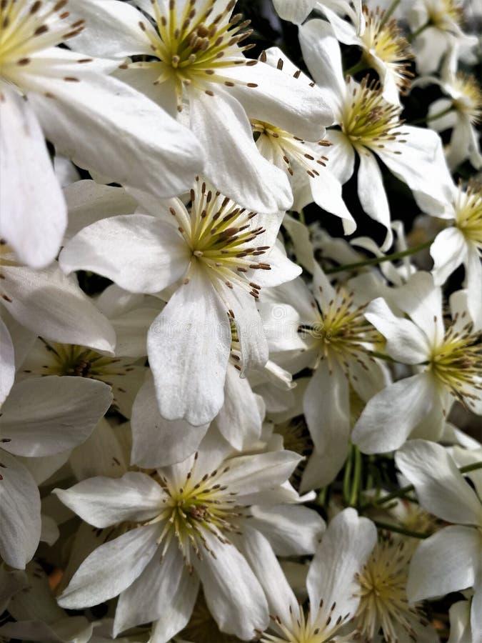 Biali clematis kwiaty, rozmaitości lawina zdjęcie royalty free