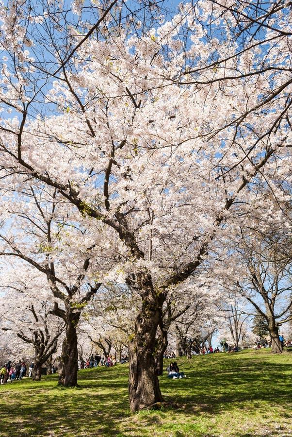 Biali czereśniowi drzewa w pełnym kwiacie na pogodnym wiosna dniu zdjęcie stock