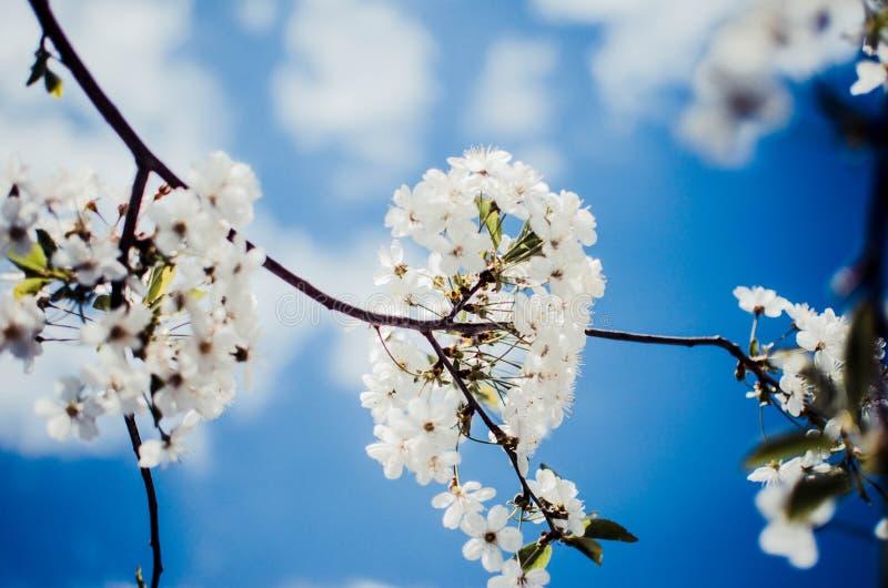 Biali czereśniowi okwitnięcia Uprawiają ogródek drzewa, czereśniowego okwitnięcia nieba tło obraz stock