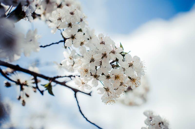 Biali czereśniowi okwitnięcia Uprawiają ogródek drzewa, czereśniowego okwitnięcia nieba tło zdjęcie royalty free