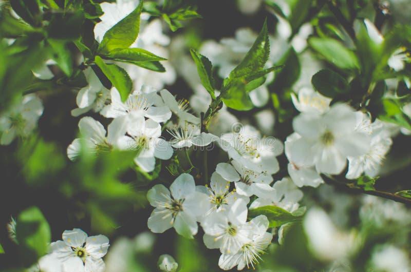 Biali czereśniowi okwitnięcia Uprawiają ogródek drzewa, czereśniowego okwitnięcia nieba tło obraz royalty free