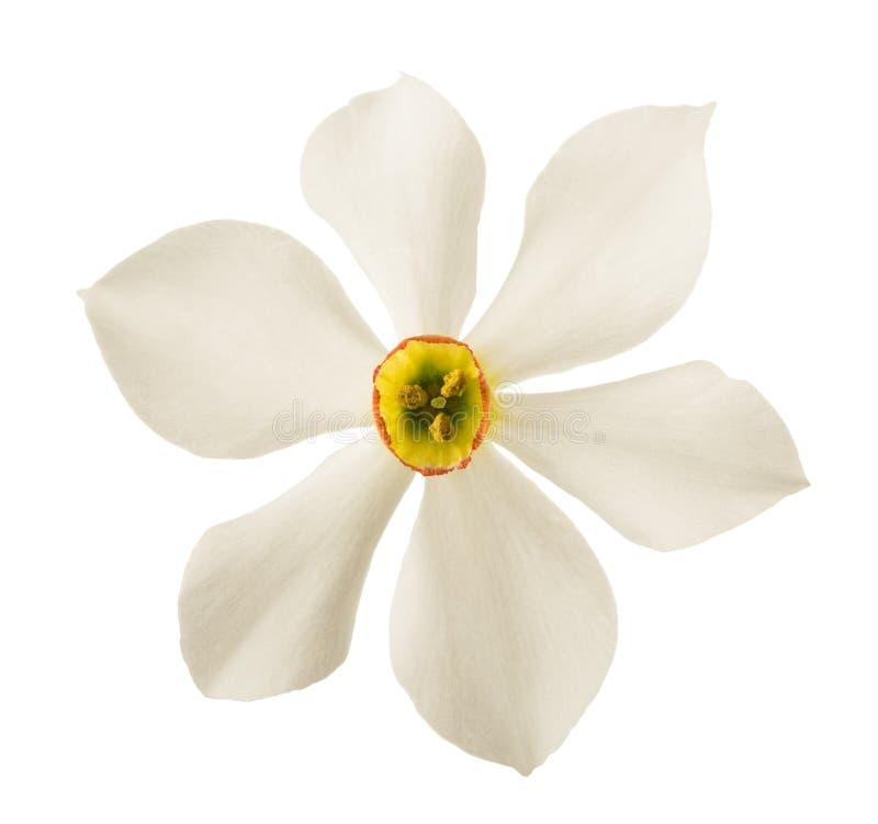 Biali Daffodils kwiaty obrazy royalty free