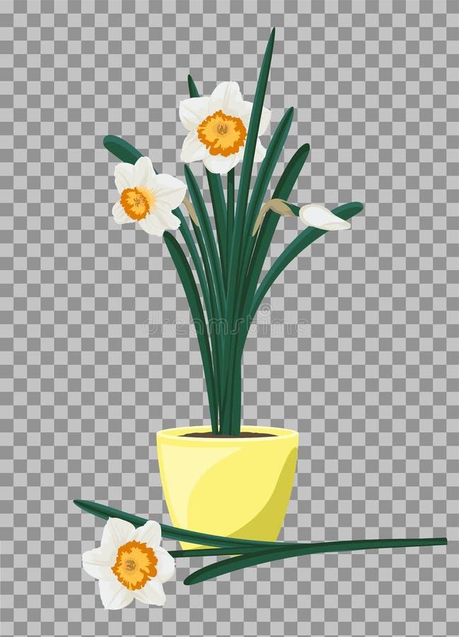 Biali daffodils w żółtym flowerpot Groving w górę narcyzów kwiatów ilustracji