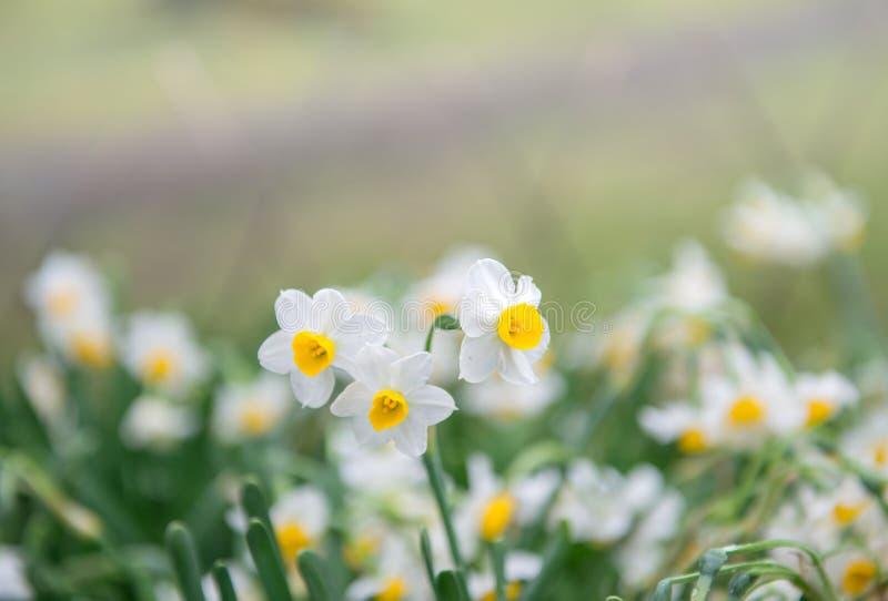 Biali daffodils w wiosna czasie obraz royalty free