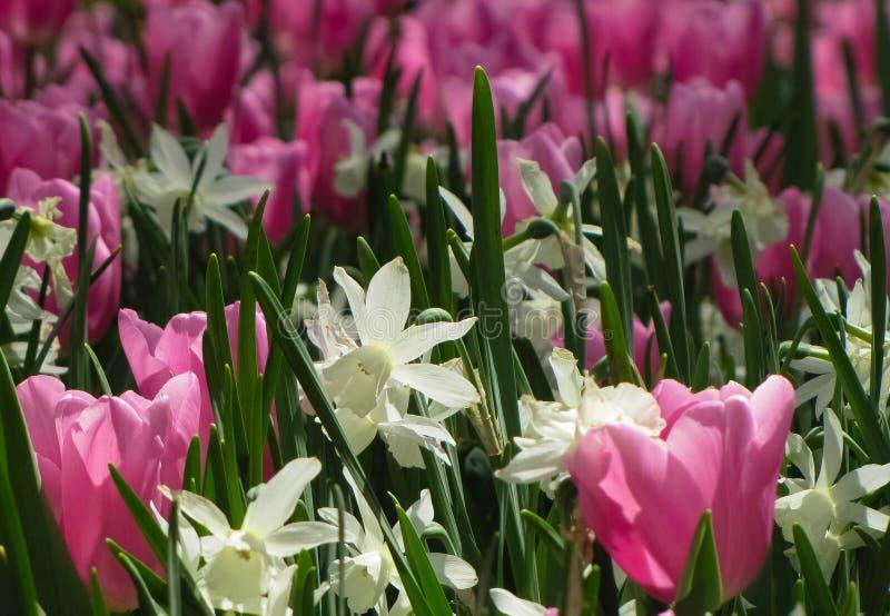 Biali Daffodils z Różowymi tulipanami zdjęcia stock