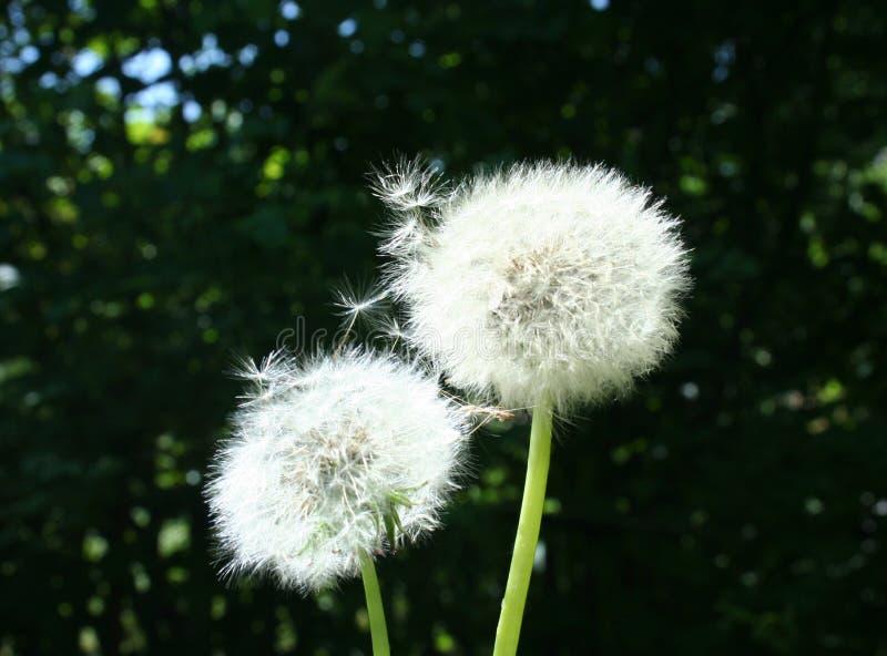 Biali dandelion piórka są gotowi latać zdjęcie royalty free
