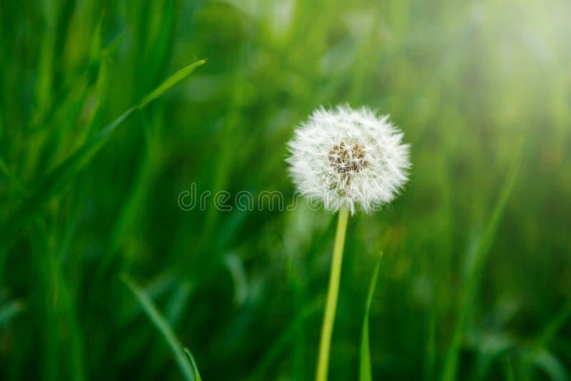 Biali dandelion ziarna na naturalnym zamazanym zielonym tle, zakończenie w górę Biali puszyści dandelions, łąka lato, wiosna, nat zdjęcie stock