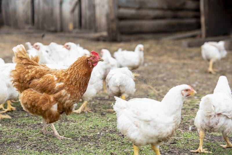 Biali dorosli broilers i czerwony kurczak chodzą obraz royalty free
