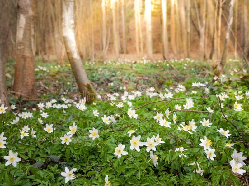 Biali drewniani anemony dywanowi w wiosna lesie zdjęcia royalty free