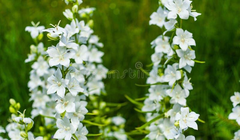 Biali dzwonkowi kwiaty w górę, r w ogródzie na zamazanym zielonym tle (kampanuli persicifolia) Delikatny i rozochocony dzwon obraz royalty free