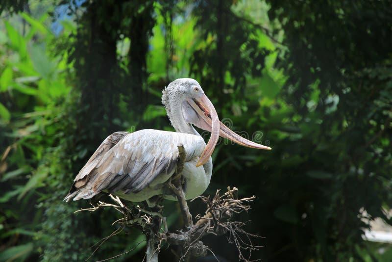 Biali Egrets z Dziwnym usta obraz royalty free