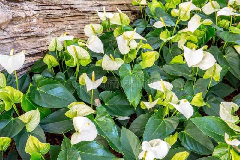 Biali flamingów kwiaty, Biały anthurium andreanum obrazy royalty free
