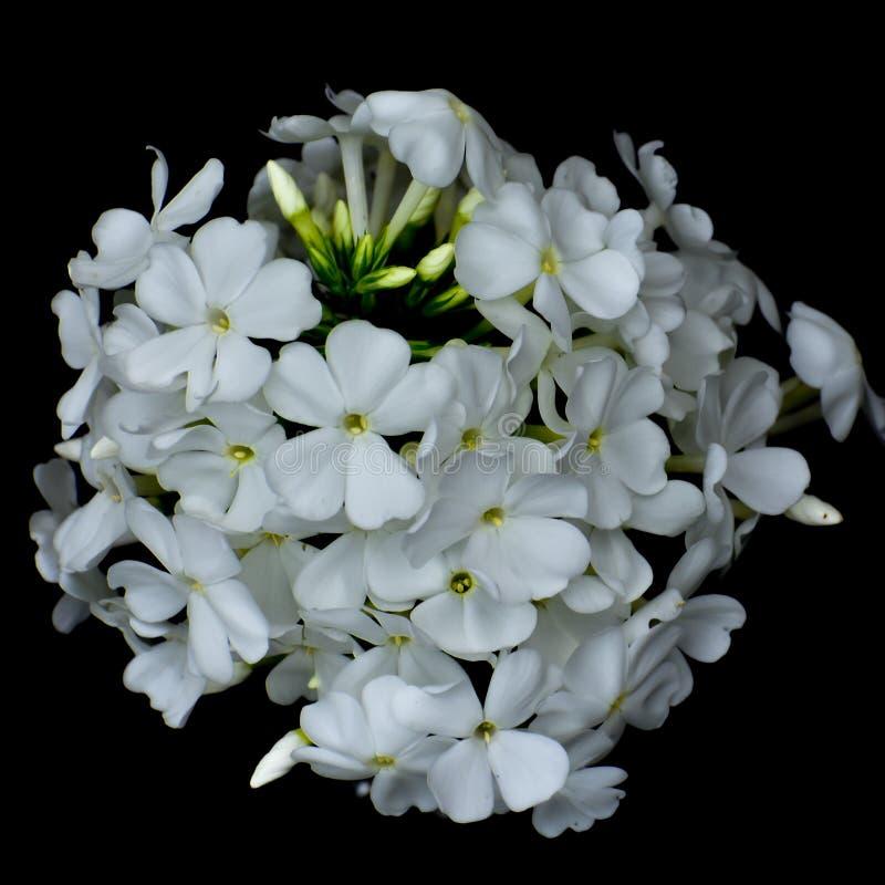 Biali floksów kwiaty Odizolowywający na Czarnym tle zdjęcia stock