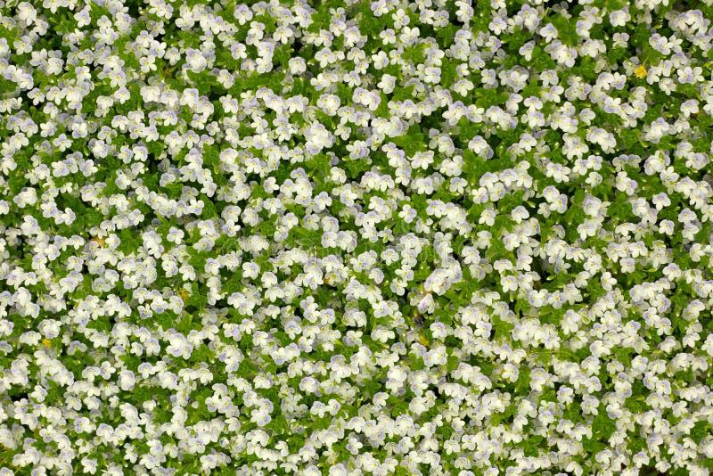 Biali florets obrazy stock