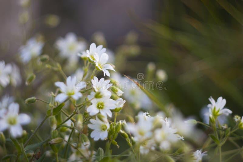 Biali góra kwiaty fotografia royalty free