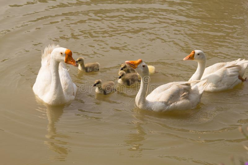 Biali gęsi i żółci gąsiątka pływa w stawie, rodzinna gąska obrazy royalty free