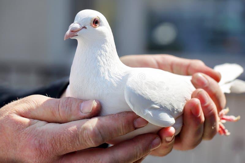 Biali gołębie w rękach rozpłodniki obrazy royalty free