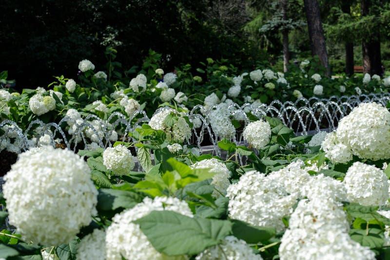 Biali hortensja kwiaty sk?adaj? romantycznego kwiecistego t?o obrazy stock