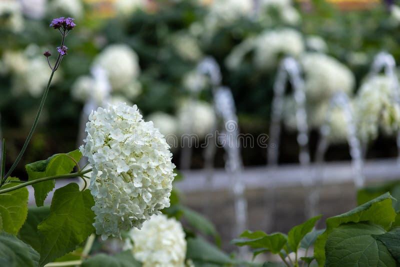 Biali hortensja kwiaty sk?adaj? romantycznego kwiecistego t?o zdjęcia royalty free