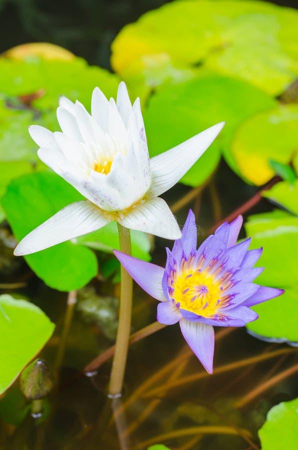 Biali i purpurowi lotosowi kwiaty na zielonym tle fotografia stock