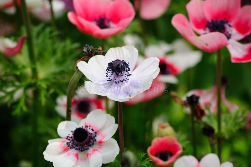 Biali i Różowi anemony obrazy royalty free