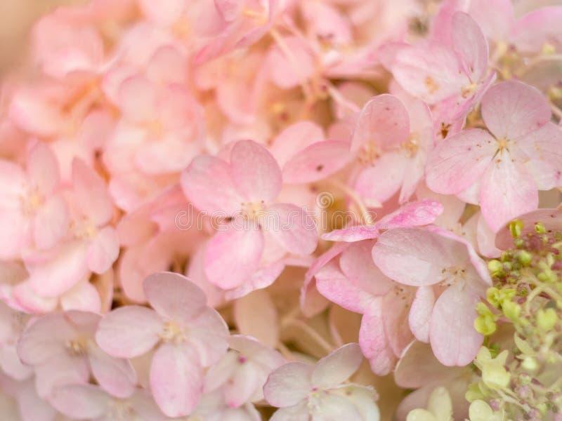 Biali i różowi hortensja kwiaty składają romantycznego kwiecistego backgrou obrazy royalty free