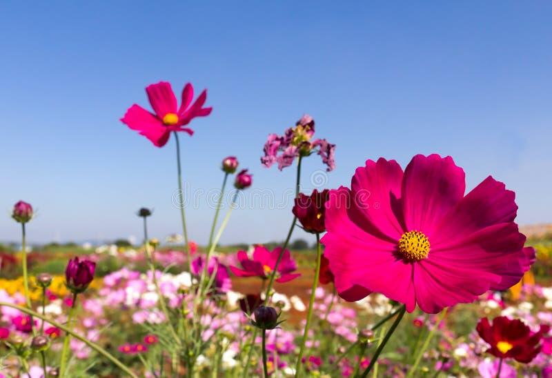 Biali i różowi kosmosów kwiaty zdjęcie royalty free