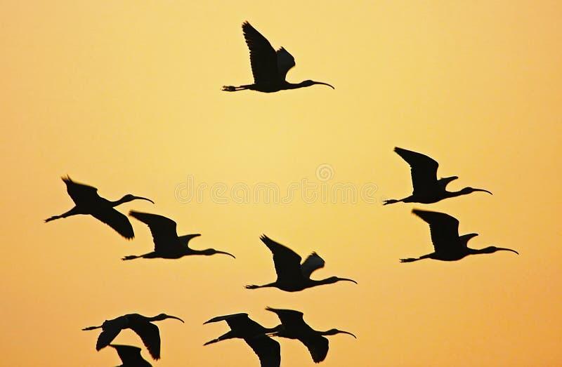 Biali ibisy zdjęcia royalty free