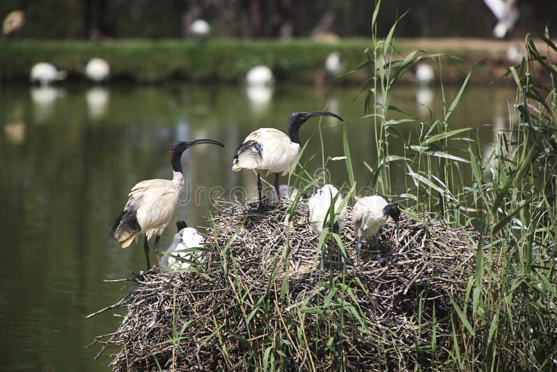 Biali ibisy zdjęcie royalty free