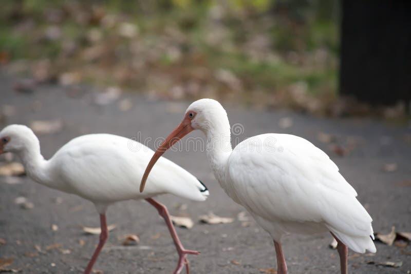 Biali ibisy Na Cementowym przejściu fotografia royalty free
