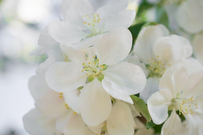 Biali jabłczani okwitnięcie kwiaty w wiosna ogródzie Miękka selekcyjna ostrość tła naturalny kwiecisty obrazy royalty free