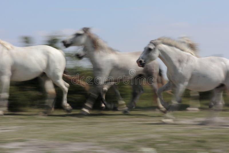Biali konie Camargue obraz stock