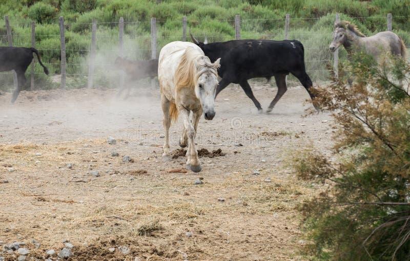Biali konie i bullfighting czarni byki Camargue park na delty Rhone rzece zdjęcie royalty free
