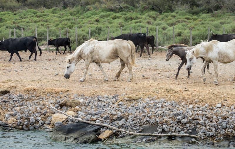 Biali konie i bullfighting czarni byki Camargue park na delty Rhone rzece obraz royalty free