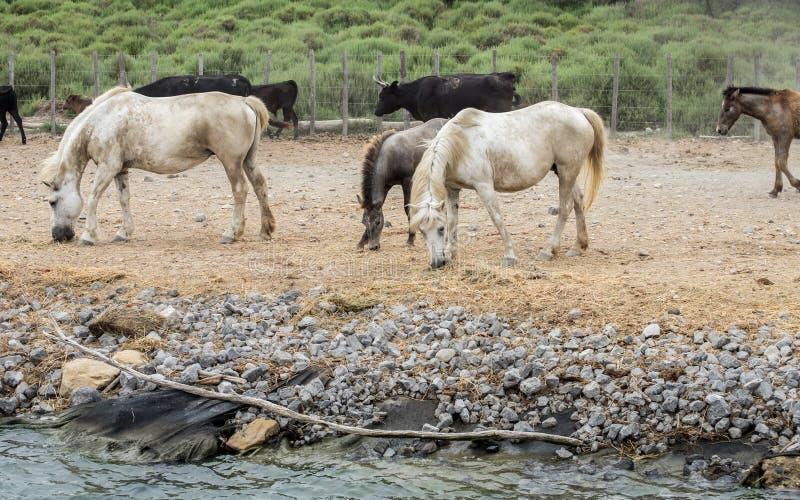 Biali konie i bullfighting czarni byki Camargue park na delty Rhone rzece obrazy stock